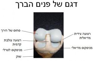 דגם של פנים הברך