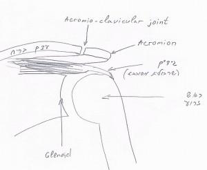 אנטומיה של הכתף